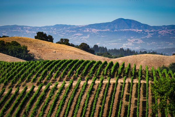 Rolling hills of Sonoma County with rows of grape vines and vineyards